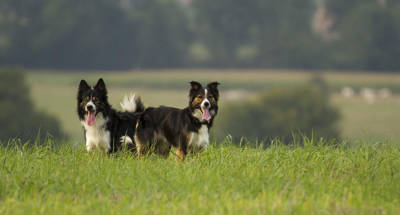 hip dysplasia in dogs, dog rehab, dog treatment, dog rehabilitation, dog osteopathy