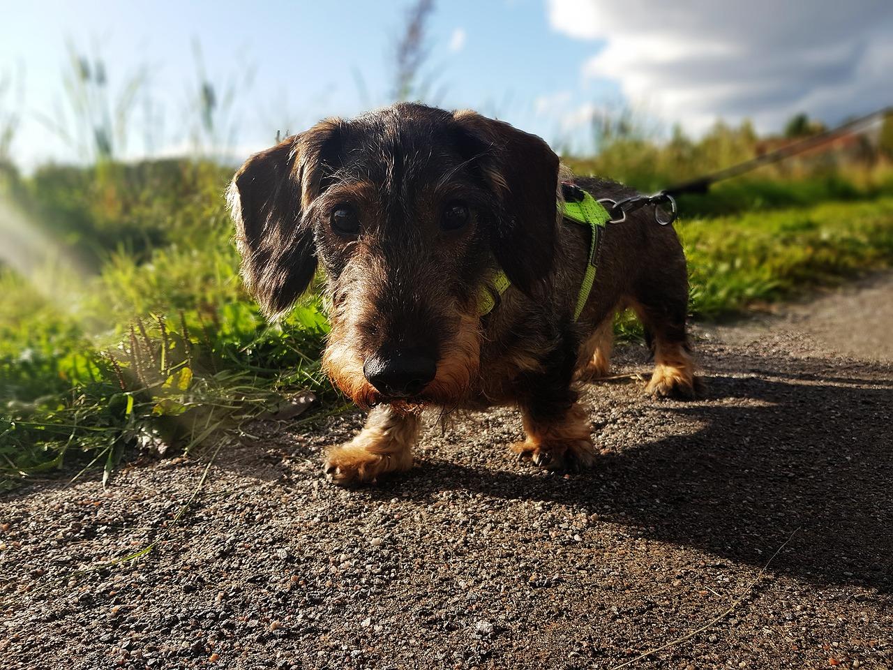 dog back pain, dog back injury, dachshund, dog rehab, dog treatment, dog rehabilitation, dog osteopathy