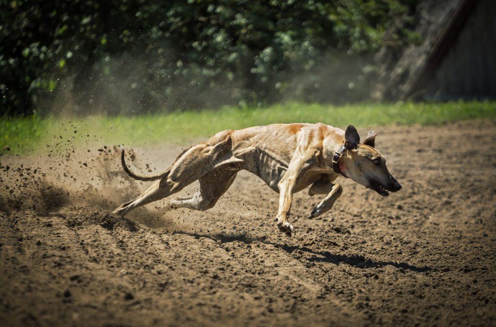 dog running, dog turnning