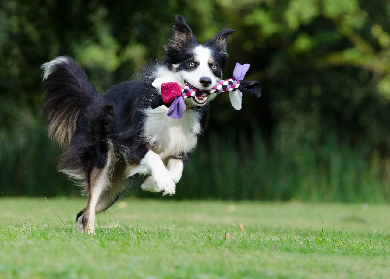 Border collie, dog agility, dog rehab, dog rehabilitation, dog treatment, dog osteopathy