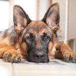 Dog arthritis, German Shepard, dog treatment, dog osteopathy, dog rehab, dog rehabilitation