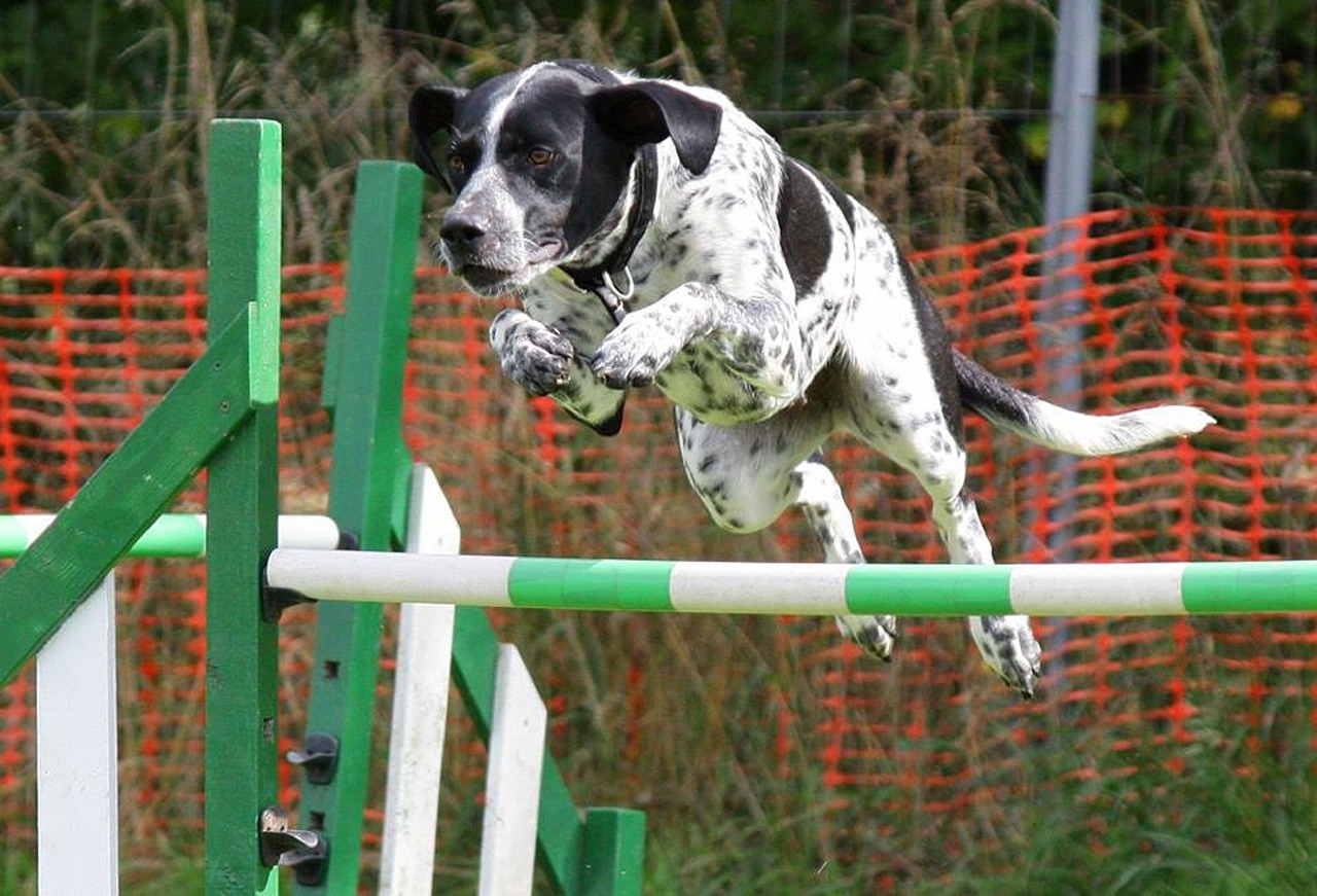 Low Back Injuries in Agility Dogs | The Balanced Dog