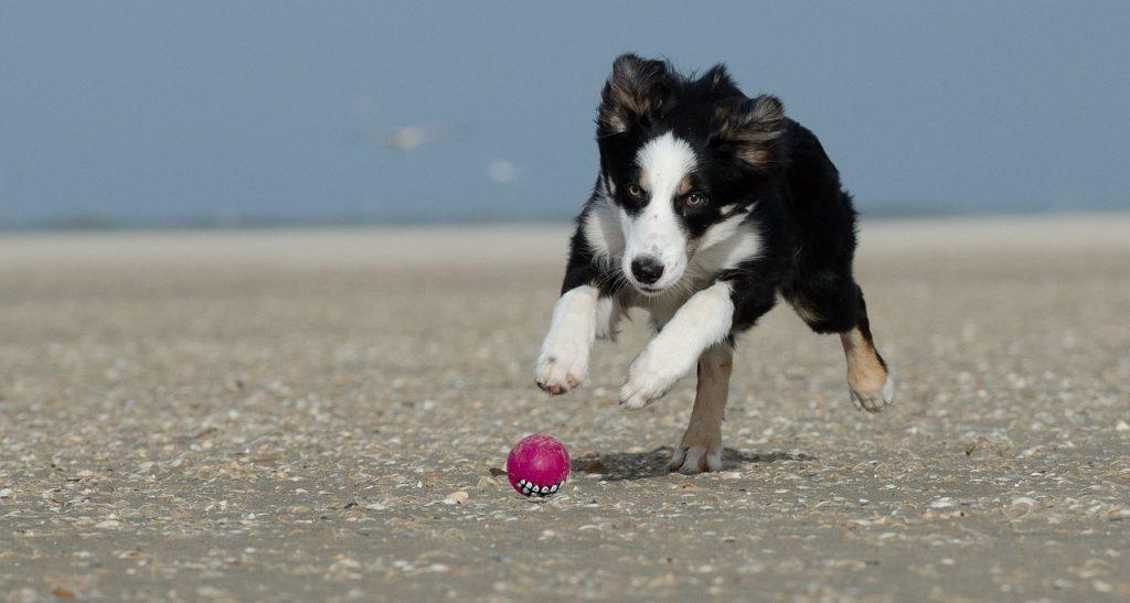 border collie, puppy, puppy safe play