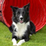 dog agility, dog agility injuries, dog agility treatment, dog agility rehab, dog agility rehabilitation