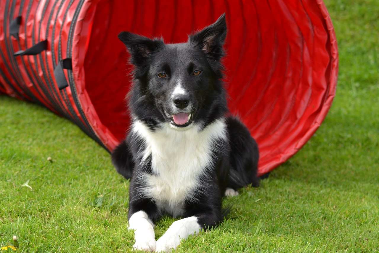 dog agility, dog agility injuries, dog agility treatment, dog agility rehab, dog agility rehabilitation