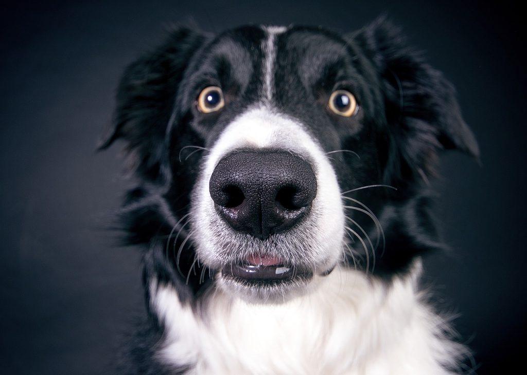 border collie, dog treatment, dog rehab, dog rehabilitation