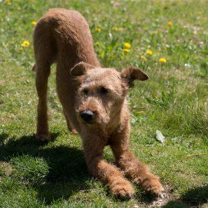 dog treatment, agility dog, dog osteopathy, dog rehab, dog rehabilitation