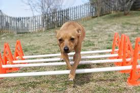 dog rehab, dog rehabilitation, dog cavaletti