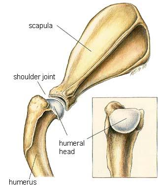 dog shoulder joint