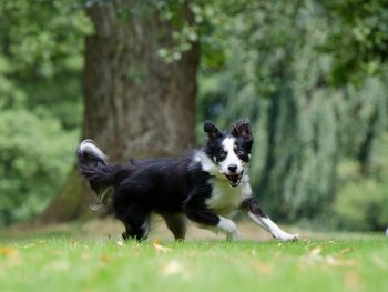 border collie, agility dog injury, dog osteopathy, dog rehab, dog rehabilitation,