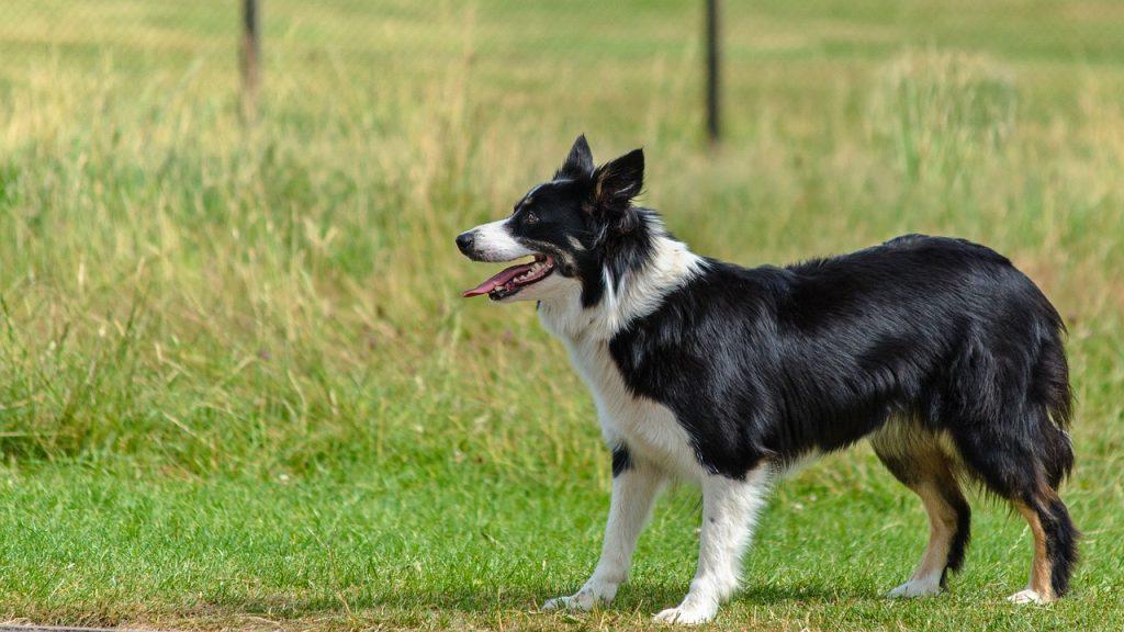 border collie, agility dog, dog rehab, dog rehabilitation, dog osteopath
