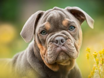 bulldog, english bulldog, hip dysplasia predisposition