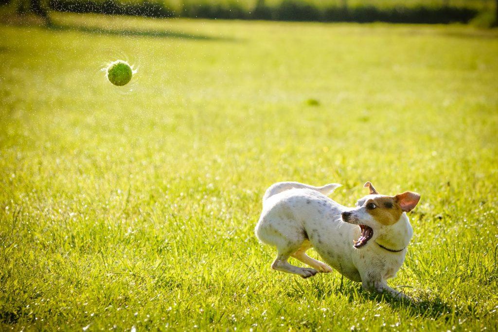 dog chase, dog ball, dog rehab, dog rehabilitation, jack russell