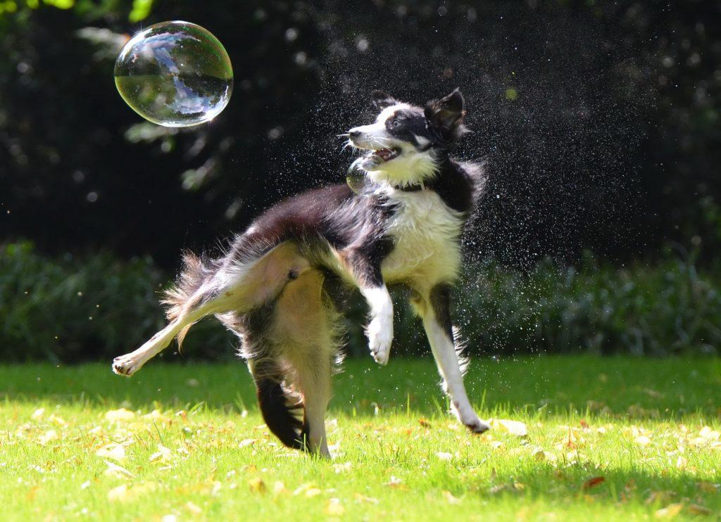 border collie, the balanced dog, canine rehabilitation, canine osteopathy